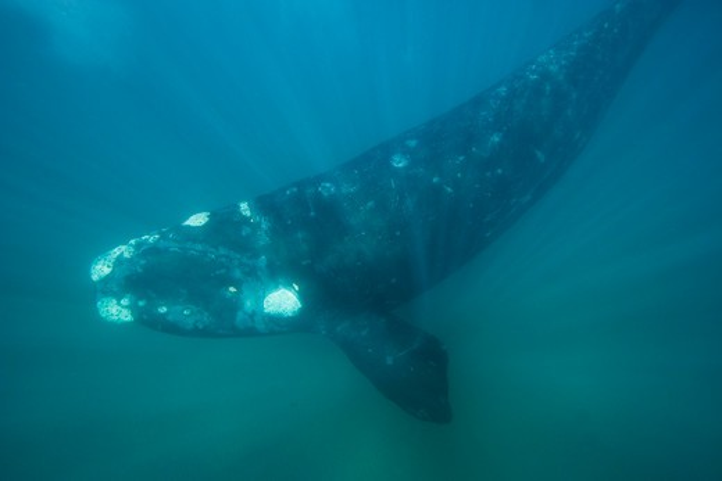 Stock Photo: 1916-6056 Argentina, Patagonia, Province Chubut, Valdes Peninsula, Southern Right Whale (Eubalaena australis)