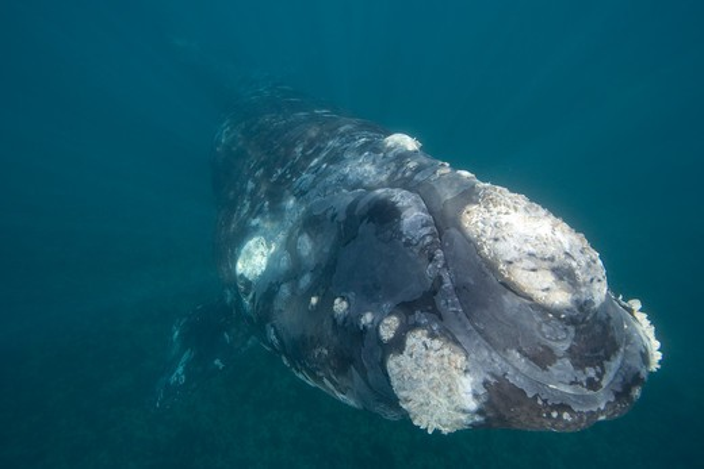 Argentina, Patagonia, Province Chubut, Valdes Peninsula, Southern Right Whale (Eubalaena australis) : Stock Photo