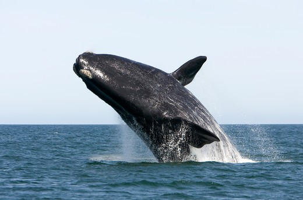 Stock Photo: 1916-6058 Argentina, Patagonia, Province Chubut, Valdes Peninsula, Southern Right Whale (Eubalaena australis)