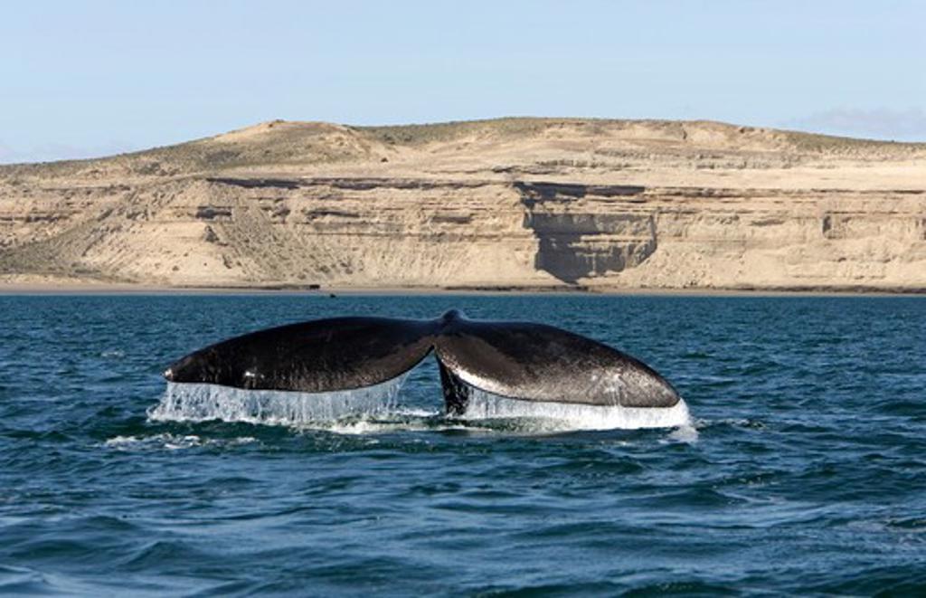 Stock Photo: 1916-6065 Argentina, Patagonia, Province Chubut, Valdes Peninsula, Southern Right Whale (Eubalaena australis)