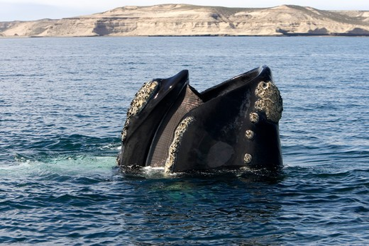Stock Photo: 1916-6066 Argentina, Patagonia, Province Chubut, Valdes Peninsula, Southern Right Whale (Eubalaena australis) standing vertically in water with mouth partly open, showing baleen plates