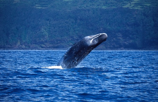 Atlantic Ocean, Portugal, Azores Islands, Sperm whale (Physeter macrocephalus) breaching : Stock Photo