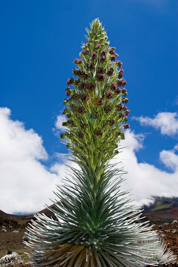 Stock Photo: 1916-6230 Hawaii, Maui, rare silversword plant, Argyroxiphium sandwicense macrocephalum, in early stage of blooming