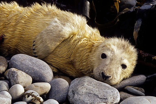 Stock Photo: 1916-6255 Scotland, Orkney Islands, Gray seal (Halichoerus grypus) pup is tended by it's mother on the beach until it molts.