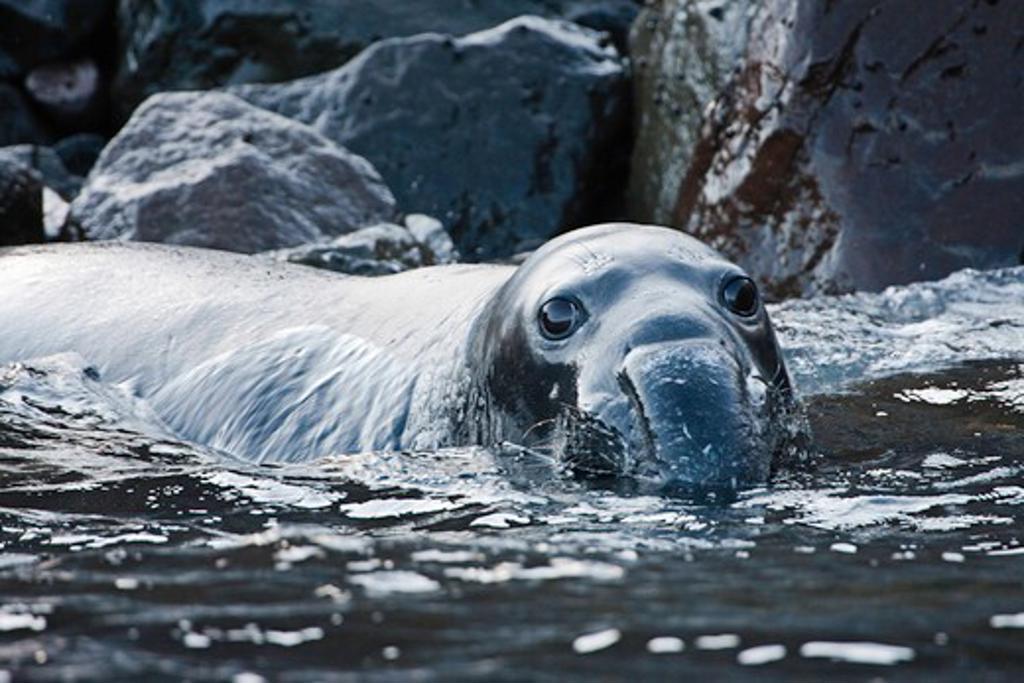 Stock Photo: 1916-6296 Mexico, Guadalupe Island, Northern elephant seal juvenile, (Mirounga angustirostris)