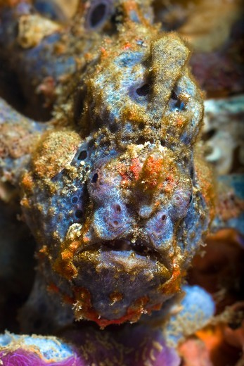 Stock Photo: 1916-6786 Indonesia, Ambon Island, Ambon Bay, Laha Divesite, Frogfish