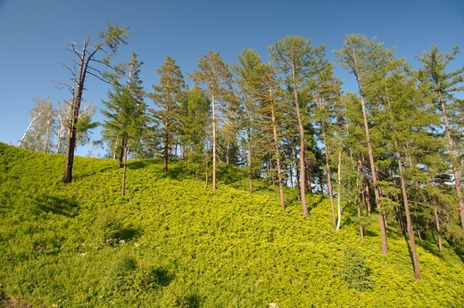 Stock Photo: 1916-6807 Russia, Siberia, Trees on hill