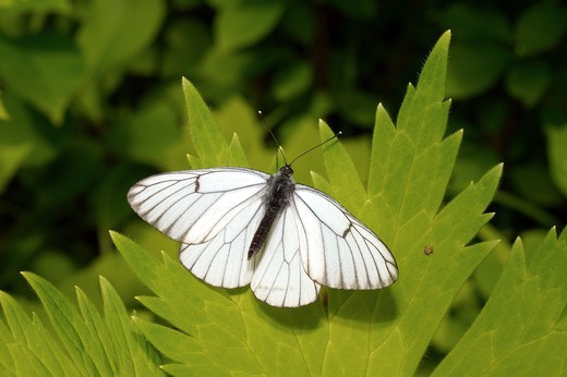 Stock Photo: 1916-6810 Russia, Siberia, Lake Baikal, Black-veined White butterfly (Aporia crataegi)