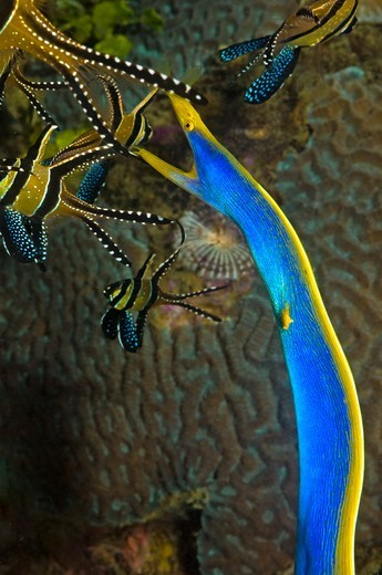 Indonesia, Sulawesi, Lembeh Strait, Magic Crack Divesite, Blue Ribbon Eel Hunting : Stock Photo