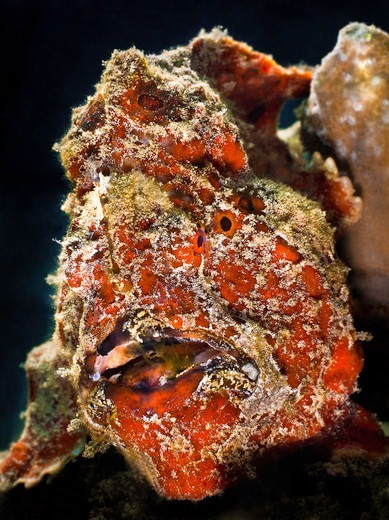 Stock Photo: 1916-6884 Indonesia, Ambon, Giant Frogfish