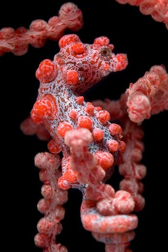 Stock Photo: 1916-6913 Indonesia, North Sulawesi, Lembeh Strait, pygmy seahorse (Hippocampus bargibanti) on coral