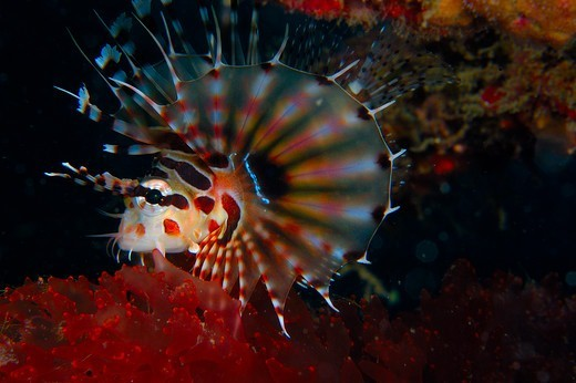 Stock Photo: 1916-6964 Indonesia, North Sulawesi, Lembeh Strait, spotfin lionfish (Pterois antennata)
