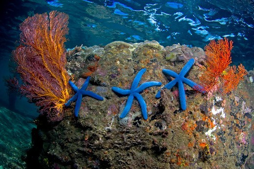 Indonesia, North Sulawesi, Lembeh Strait, Blue Starfish (Linckia laevigata) on rock wall : Stock Photo