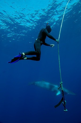 Australia, Great Barrier Reef, Diver with Dwarf Minke Whale, : Stock Photo