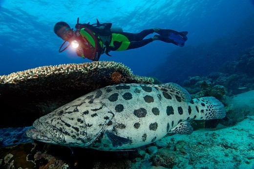 Australia, Great Barrier Reef, Ribbon Reefs, Cod Hole, Potato cod grouper (Epinephelus tukula) : Stock Photo