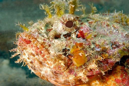 Stock Photo: 1916-7097 Cayman Islands, False stonefish ( Scorpaenopsis diabolus)