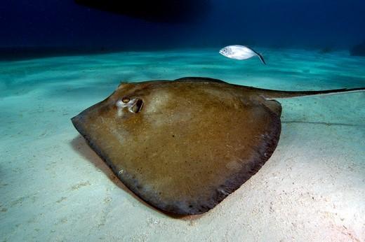 Turks and Caicos Islands, Southern stingray (Dasyatis americana) : Stock Photo