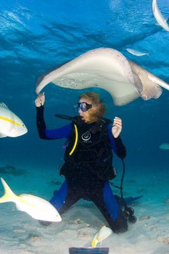 Cayman Islands, Caribbean Sea, Southern stingray (Dasyatis americana) : Stock Photo