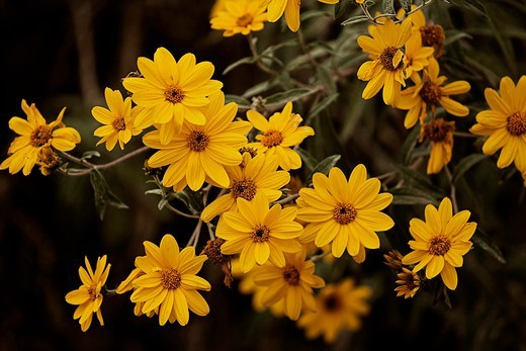 Argentina, Salta, Pasto cubano flowers (Tithonia tubaeformis) : Stock Photo