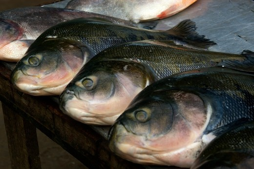 Brazil, Amazonas, Black tambaqui, Colossoma macropomum, for sale at riverside fish market : Stock Photo