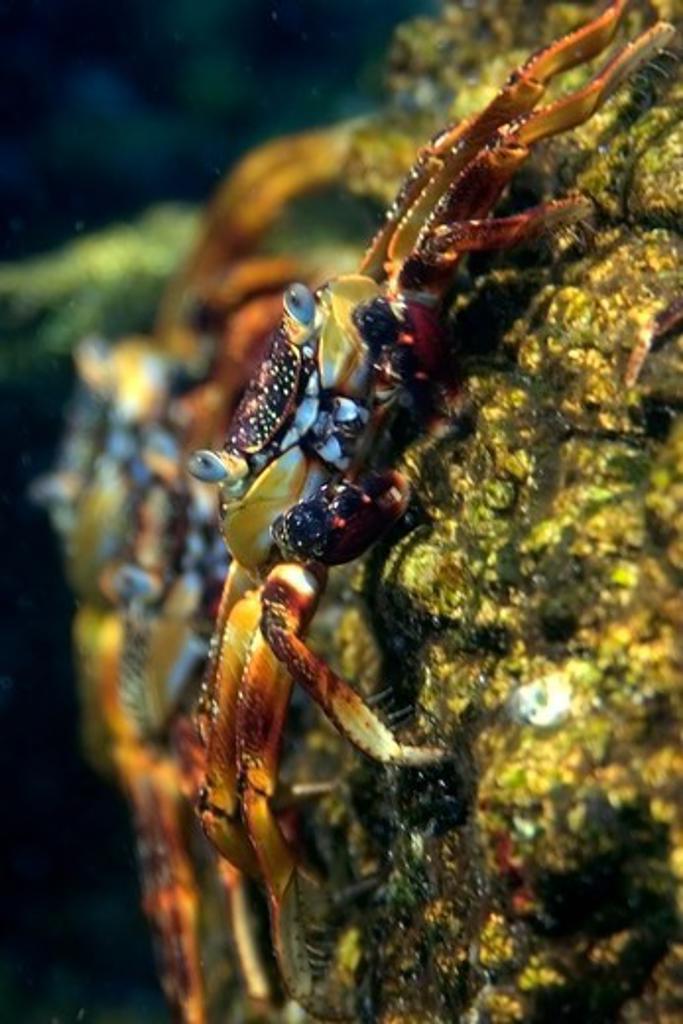 Stock Photo: 1916-7340 Atlantic Ocean, Brazil, St. Peter and St. Paul's rocks, Red rock crab, Grapsus grapsus