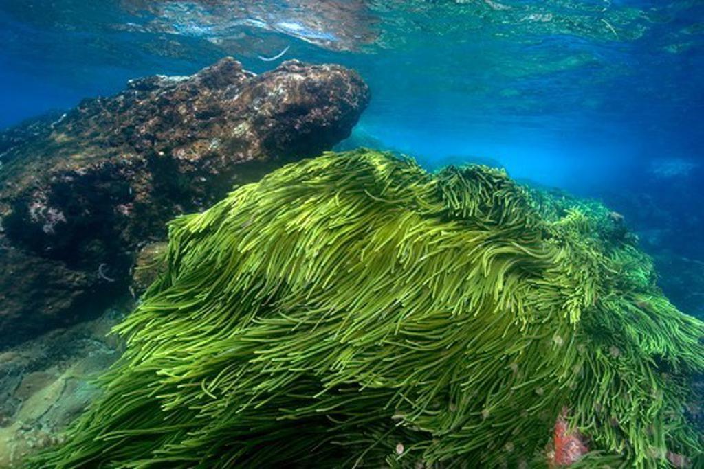 Atlantic Ocean, Brazil, St. Peter and St. Paul's rocks, Green algae, Caulerpa racemosa : Stock Photo