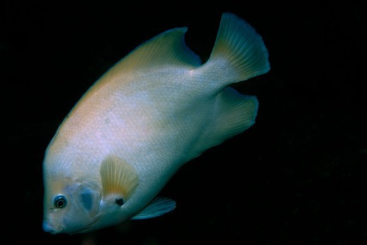 Stock Photo: 1916-7359 Atlantic Ocean, Brazil, St. Peter and St. Paul's rocks, Queen angelfish, Holacanthus ciliaris, endemic and rare white morphotype