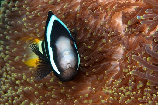 Stock Photo: 1916-7507 Philippines, Negros, Daiun, Clark's anemonefish (Amphiprion clarkii) unusual colour variant on anemone