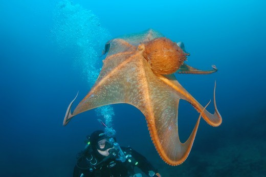 Russian Federation, Primorsky Krai, Japan sea, Giant Pacific octopus or North Pacific giant octopus (Enteroctopus dofleini) : Stock Photo