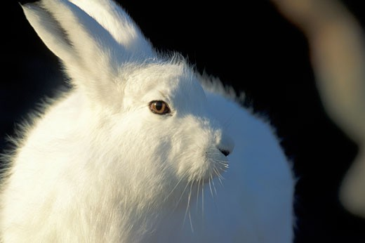 Adult Arctic Hare Lepus arcticus near Hudson Bay Churchill area Manitoba Northern Canada : Stock Photo