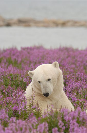 Polar Bear ursus maritimus relaxing in Fireweed Epilobium angustifolium on sub-arctic flower covered island at Hubbart Point Hudson Bay near Churchill Manitoba Northern Canada : Stock Photo