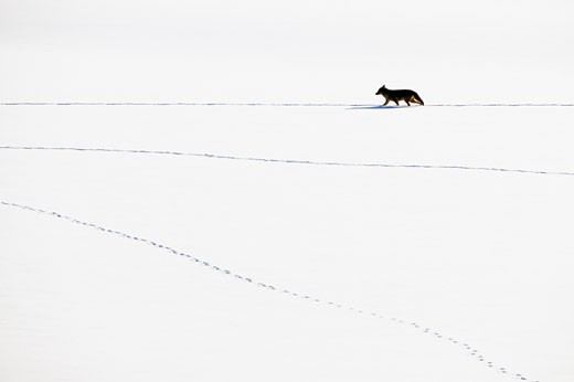 Coyote Canis latrans walking and leaving tracks on the snow Grand Teton Wyoming : Stock Photo
