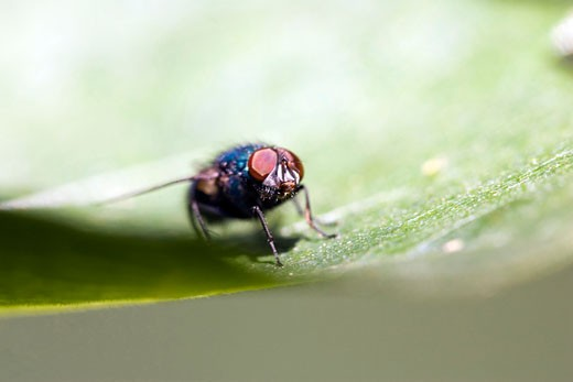 Stock Photo: 1925-1039 blow fly Lucilia sp landed on a leaf  Andalusia  Spain