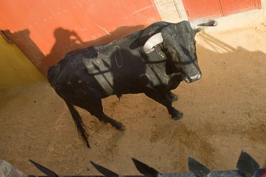 Stock Photo: 1925-1062 A novillo or young bull about ot get out into the arena Taken at Real Maestranza bullring during a bullfight  Seville  Spain  11 June 2006