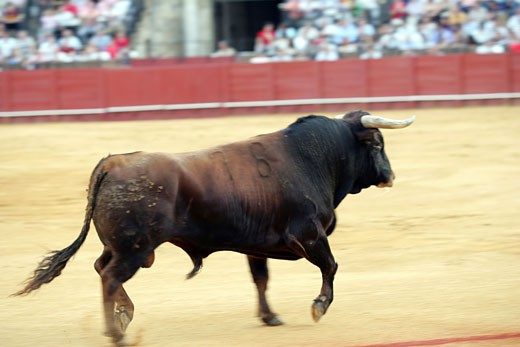 Fighting bull Taken at Real Maestranza bullring during a bullfight  Seville  Spain  11 June 2006 : Stock Photo