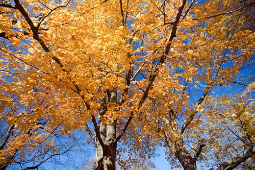 Maple tree in the fall  CT  USA : Stock Photo