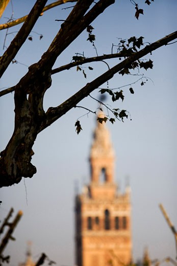 Bare tree branches with the Giralda tower  out of focus  on the background  Seville  Spain : Stock Photo