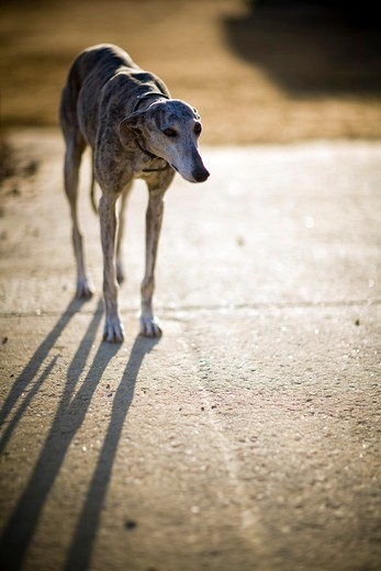 Stray dog in a street, Seville, Andalusia, Spain : Stock Photo
