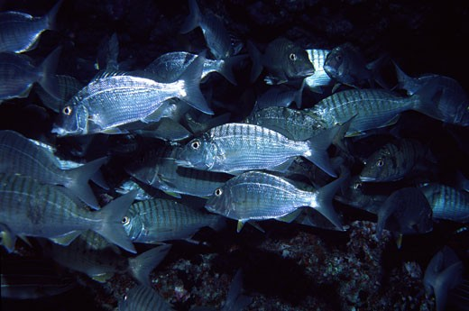 Stock Photo: 1926-1142 Striped bream group escaping fast in view of our arrival
