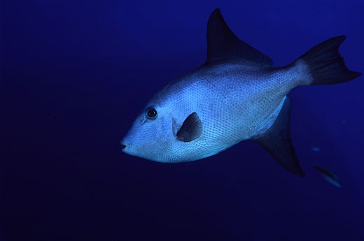 Stock Photo: 1926-1323 Specimen of Triggerfish or oceanic showing its characteristic fins
