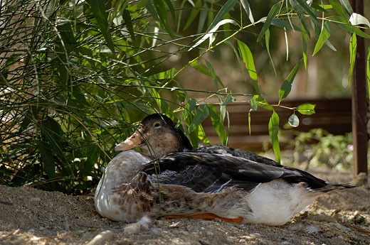 Stock Photo: 1926-1451 Female duck hatching eggs