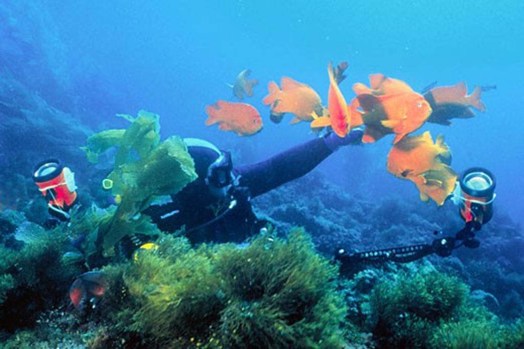 Stock Photo: 1927-2001 Underwater photographer shooting Garabaldi Hypsypops rubicunda Catalina Island  California