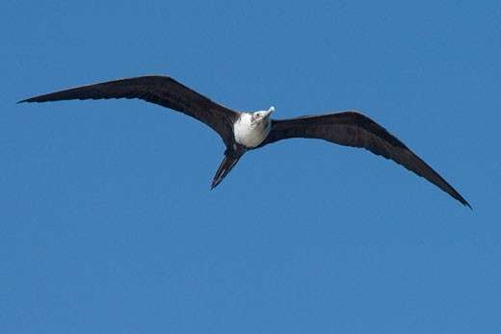Juvenile Magnificent Frigatebird in flight Fregata magnificens San Jose del Cabo Mexico : Stock Photo