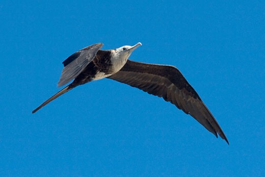 Magnificent Frigatebird in flight  juvenile Fregata magnificens San Jose del Cabo Mexico : Stock Photo