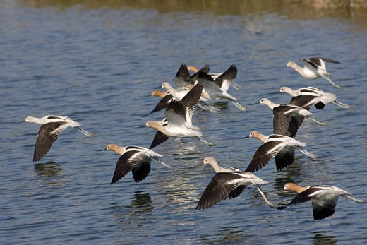Stock Photo: 1927-2534 Flock of American Avocets landing Recurvirostra americana Back Bay Reserve California