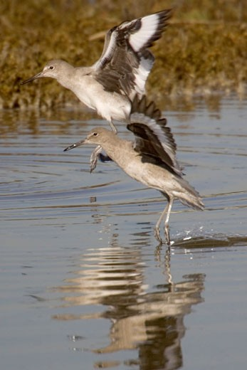 Pair of WIllets landing Catoptrophorus semipalmatus Back Bay Reserve California : Stock Photo