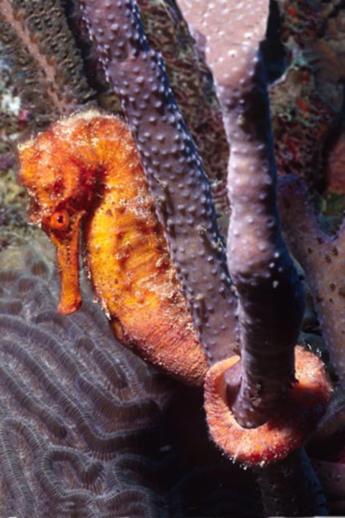 Longsnout Seahorse Hippocampus reidi Bonaire Netherlands Antilles : Stock Photo