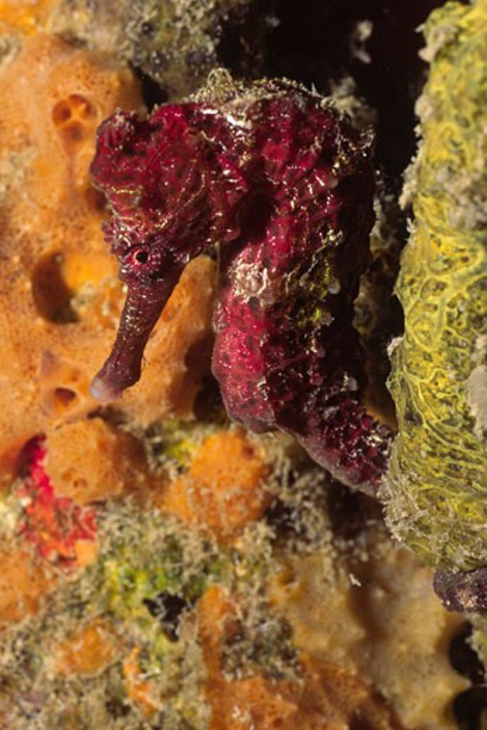 Stock Photo: 1927-2730 Longsnout Seahorse Hippocampus reidi Bonaire Netherlands Antilles