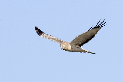 Stock Photo: 1927-2983 Northern Harrier in flight male Circus cyaneus Back Bay Reserve  Calaifornia