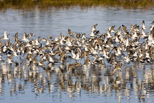 Large flock of Western Sandpipers taking off Calidris mauri Back Bay Reserve  California : Stock Photo
